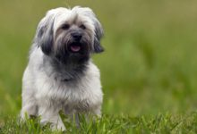 Photo of Lhasa apso – pies do towarzystwa