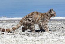 Photo of Ocelot andyjski – tajemniczy kot andyjski