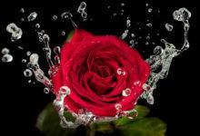 Photo of Róże – historia najpiękniejszych kwiatów świata