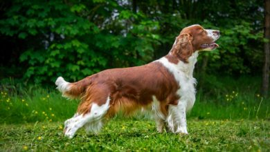 Photo of Springer spaniel walijski
