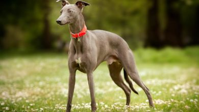 Photo of Whippet – chart angielski