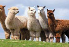 Photo of Alpaka – najcenniejsze wełniste zwierzę świata