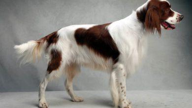 Photo of Seter irlandzki czerwono-biały
