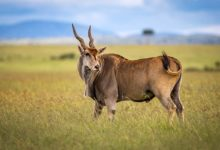 Photo of Eland – antylopa kanna (Taurotragus oryx)