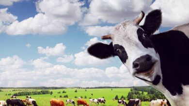 Photo of Krowa mleczna