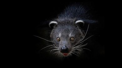 Photo of Binturong orientalny (Arctictis binturong)