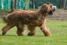 Photo of Owczarek francuski briard