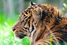 Photo of Tygrys balijski, tygrys z wyspy Bali – najmniejszy tygrys