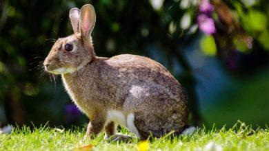 Photo of Królik europejski, królik dziki (Oryctolagus cuniculus)