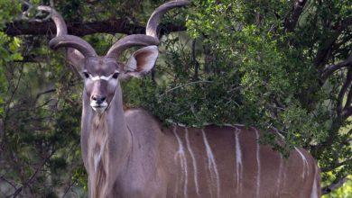 Photo of Kudu wielkie – krętoroga antylopa z Afryki