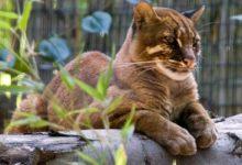 Photo of Mormi borneański – tajemniczy kot z Borneo