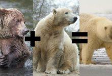 Photo of Pizzly – hybryda niedźwiedzia polarnego i grizli