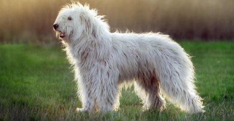 Photo of Owczarek południoworosyjski Jużak