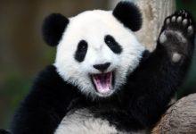 """Photo of Panda wielka – zwierzę paradoksów, które """"nie powinno istnieć"""""""