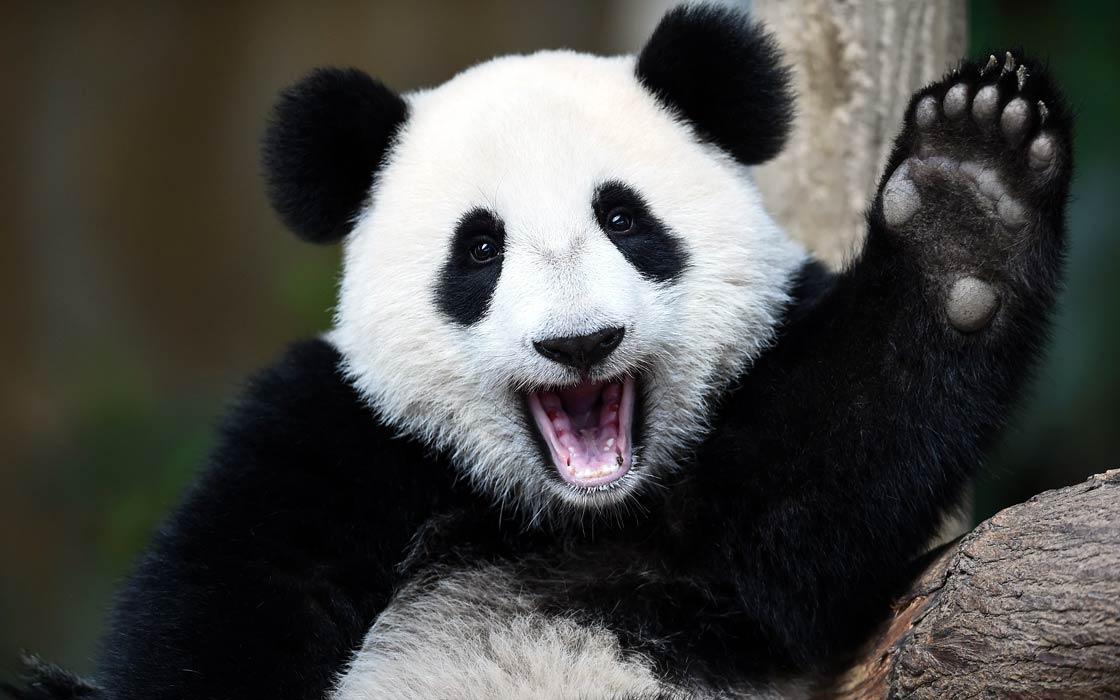 """Panda wielka – zwierzę paradoksów, które """"nie powinno istnieć ..."""