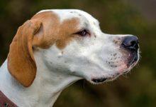 Photo of Pointer – wspaniały pies myśliwski