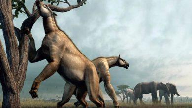 """Photo of Chalikoterium (Chalicotherium) – """"krzyżówka"""" konia z gorylem"""