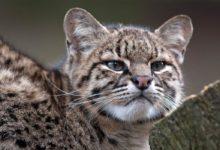Photo of Ocelot argentyński, kot argentyński, kot Geoffroya (Leopardus geoffroyi)