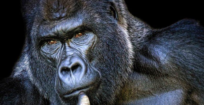 Photo of Koko – najmądrzejszy goryl świata