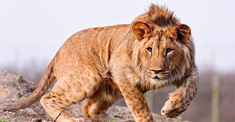 Photo of Marozi – tajemniczy lew górski