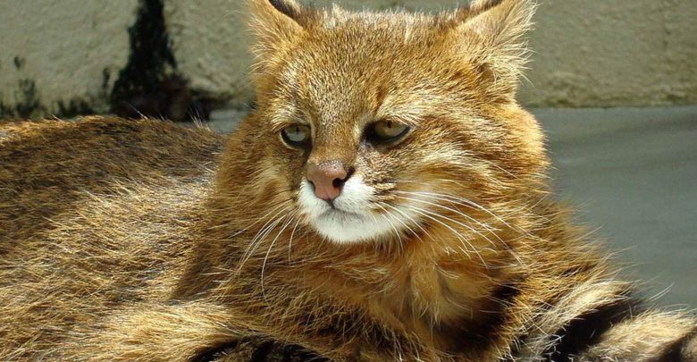 Photo of Ocelot pampasowy, kot pampasowy