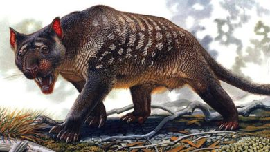 Photo of Lew workowaty (Thylacoleo) – król torbaczy