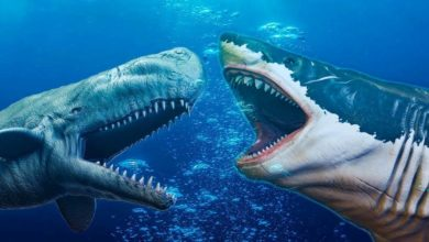 Photo of Livyatan melvillei vs megalodon