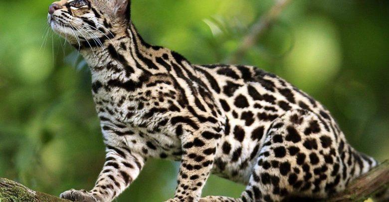 Photo of Ocelot tygrysi, kot tygrysi, oncilla (Leopardus tigrinus)