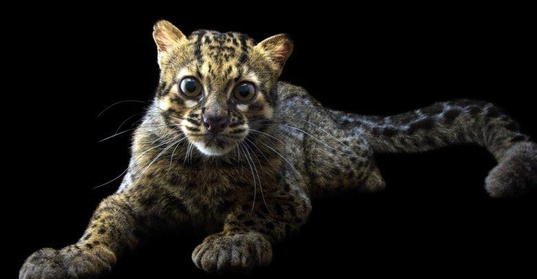Photo of Lamparcik marmurkowy, kot marmurkowy (Pardofelis marmorata)