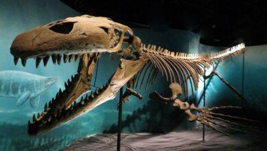 Photo of Prognatodon (Prognathodon) – wielki mozazaur