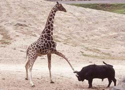 Żyrafa vs bawół.